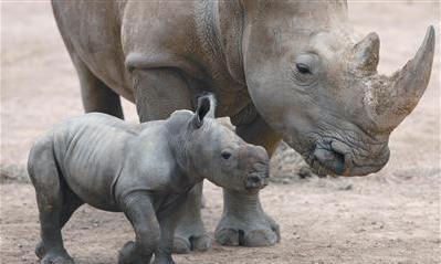 Rhino Hamilton Zoo